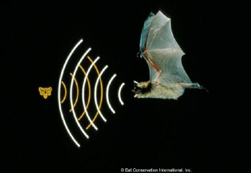 Animal echolocation